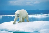 Whats hapening to the polar bears?