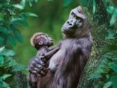 Earth Day Animals! Gorillas