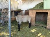 My lamb, Whip