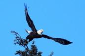 The Southeast Bald Eagle