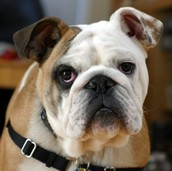 An Adult Bulldog