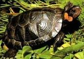 Bog turtles