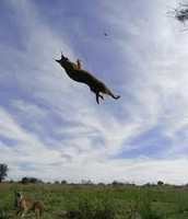 Caracal Jumping