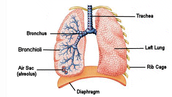 Part of or one lung