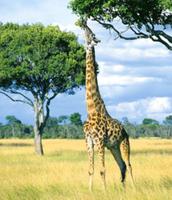 Giraffes eating an Acacia Tree