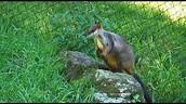 half rat half kangaroo