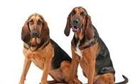 Blood hounds