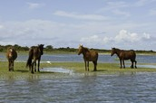 Cape Lookout Ponies