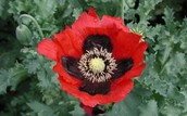 4.Opium poppy