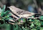 Bird- Mockingbird