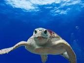 http://www.bycatch.org/project/loggerhead-sea-turtle-movement