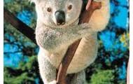 What do koalas do