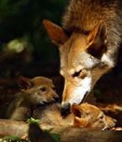 A Red Wolf cares for its young