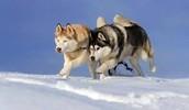 Alaskan race