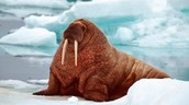 Fat provides insulation to keep warm, such as this cute little walrus!