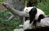The Panda Is Sleeping