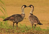 Hawiian goose