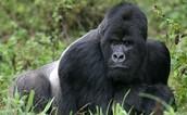 plaese help gorillas