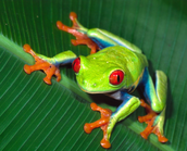 This is a Tree Frog that lives in the Amazon Jungle.