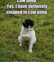 its so funny the cat step in cow poop