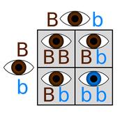 Brown and Blue Eye Gene