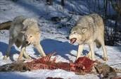 Wolf eating a deer