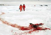Impacts of Hunting Seals