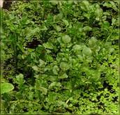 Kowhitiwhiti (watercress)
