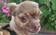 Yozo -- 5 year old Chihuahua -- 5 lbs