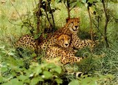 This is a picture of some cheetahs