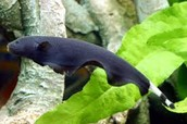 Black Ghost Knife Fish
