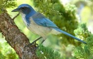 Endangered Bluejay