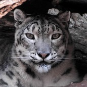 The Snow Leopard