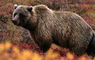 Grizzly Bear (WARNING ENDANGERED)