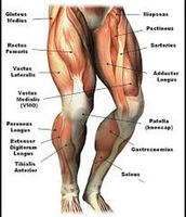 The Lower Muscles