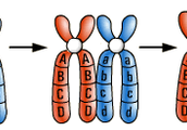 DNA in the form of Chromosomes