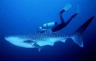 Whale shark ride
