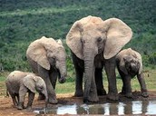 Differences between Asian and African elephants