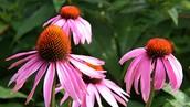 Coneflower(Echinacea)