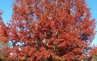 state red oak