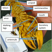 Ventral Side of Crayfish