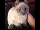 munchkin cat#1