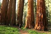 Giant sequoias!!!