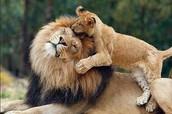 אריה עם גור על גבו