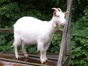This is Bok, Charlize's pet goat