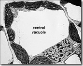 photo of vacuole in microscope