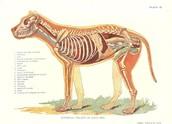 Internal Anatomy of Arctic Fox