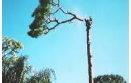 Tree top falling
