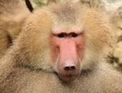 babbons
