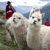 Alpacas transporting materials.